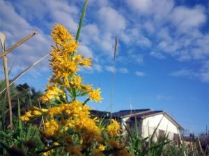 秋の空とセイタカアワダチソウ