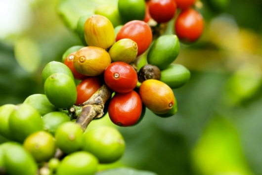 コーヒーの木の実(PhotoAC)