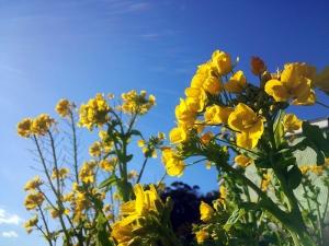 菜の花と冬の空