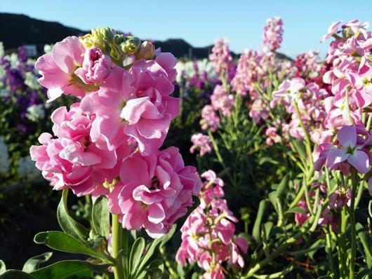 千田のお花畑(8)