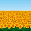 見頃時期・開園期間 - ひまわり畑ネット
